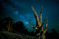 Ancient Bristlecone Pine Tree and Milky Way Galaxy